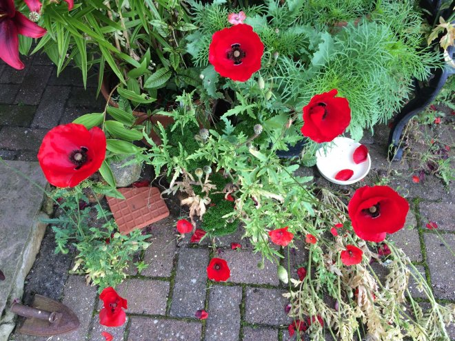 red cross poppies