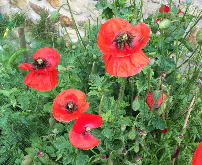 selfseeded poppies in veg bed