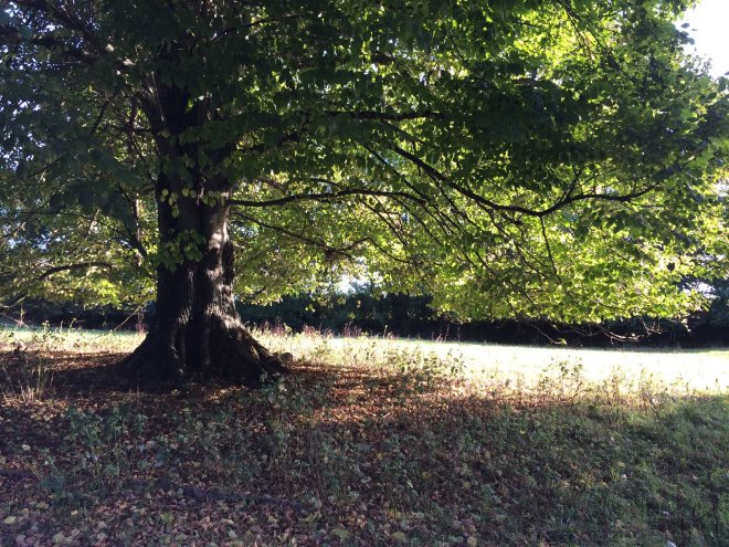 conker-tree-in-shobrooke-park