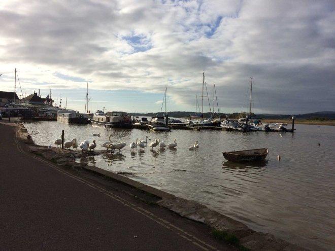 swans-awakening-in-topsham