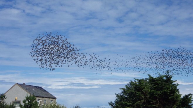 cloud-of-starlings-copy