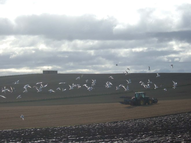 seagulls-following-the-plough
