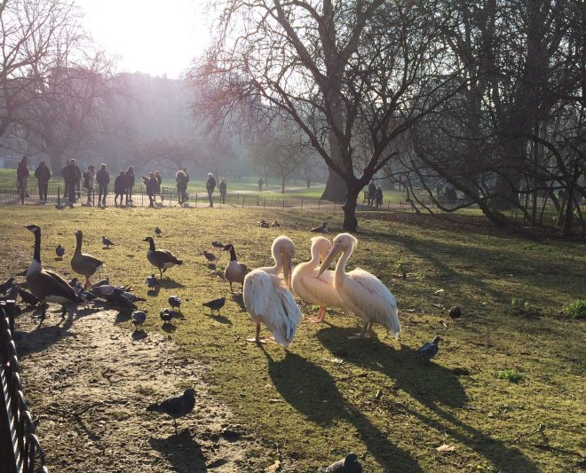 pelicans-in-st-james-park