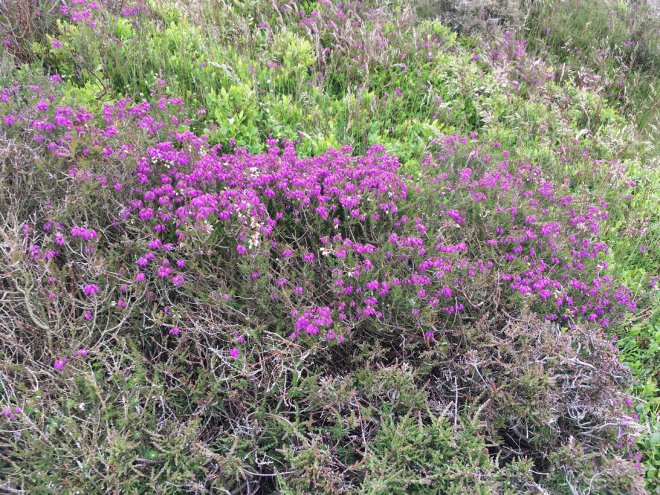 bell heather coming into bloom